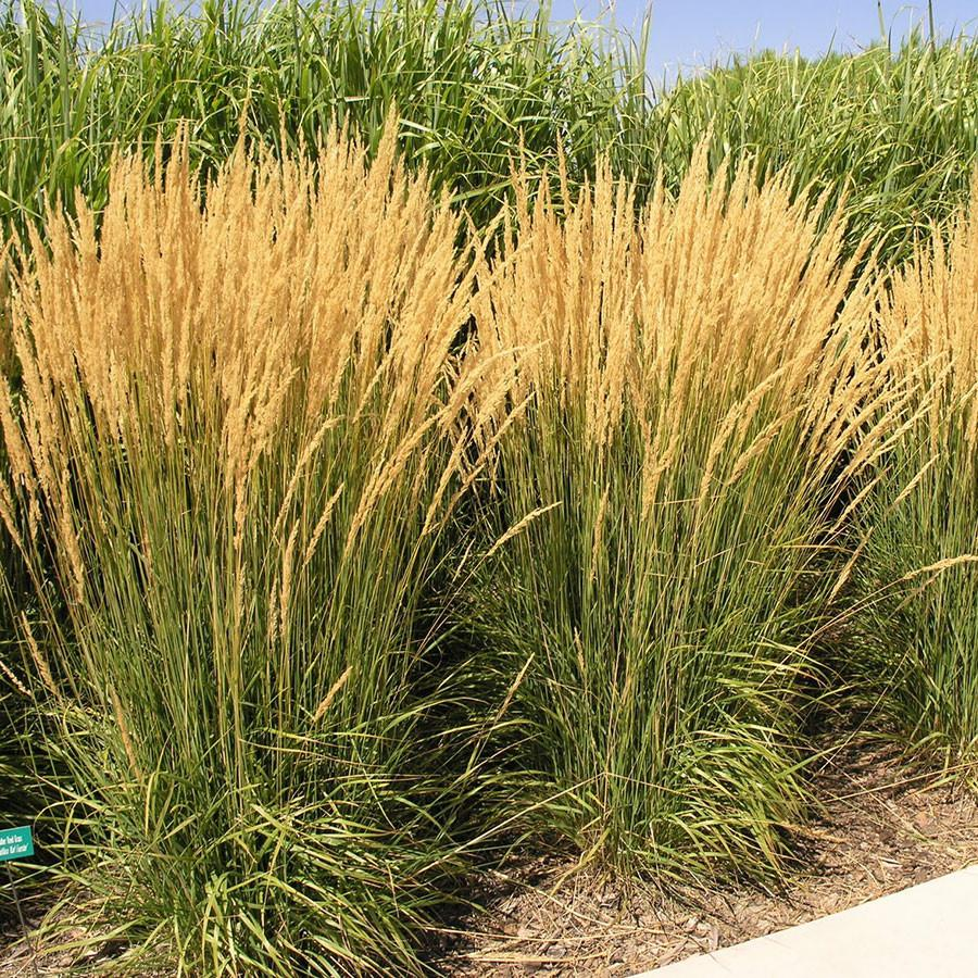 calamagrostis acutiflora karl foerster kiefer nursery trees shrubs perennials. Black Bedroom Furniture Sets. Home Design Ideas