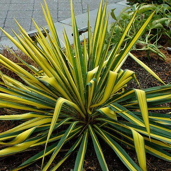 yucca filamentosa color guard kiefer nursery trees shrubs perennials. Black Bedroom Furniture Sets. Home Design Ideas