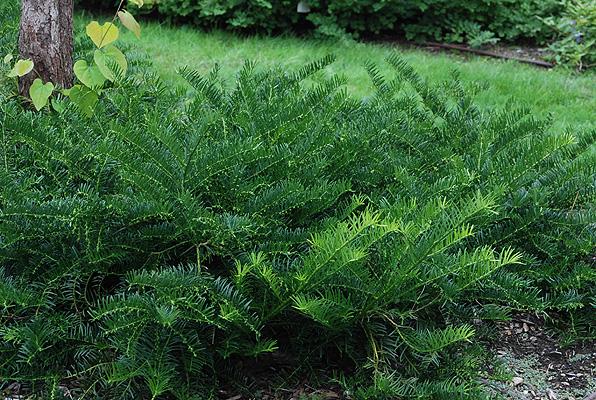 Cephalotaxus harringtonia duke gardens kiefer nursery trees shrubs perennials for Duke gardens plum yew