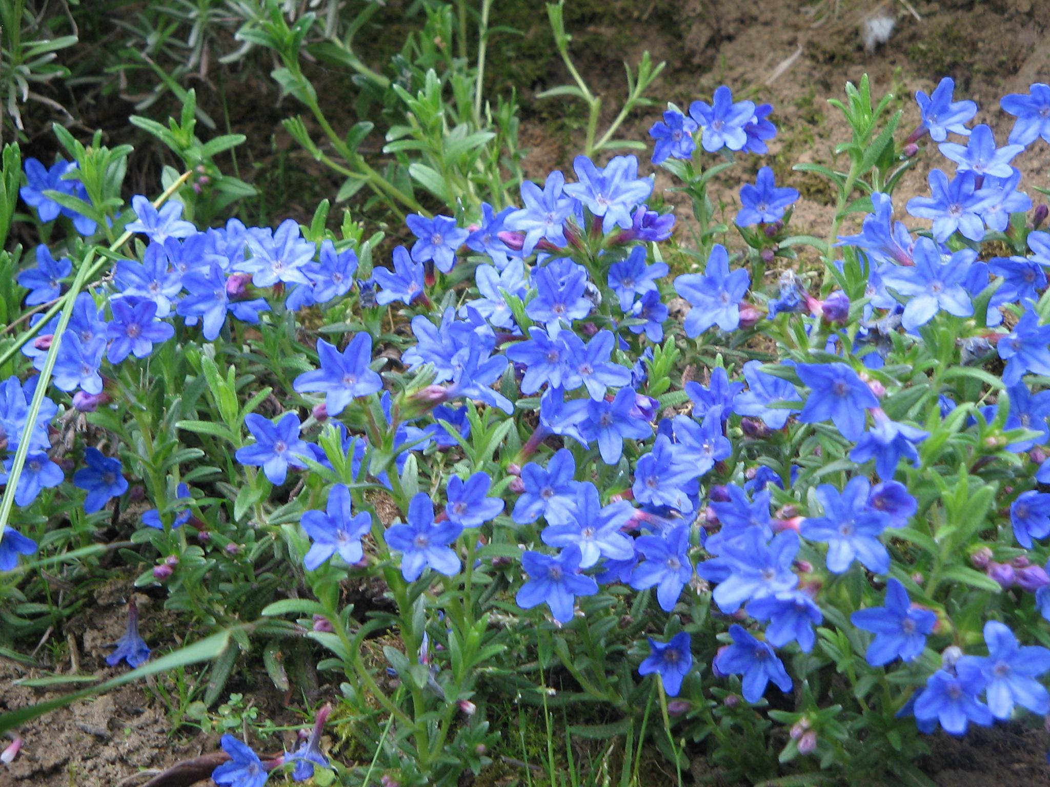Spring Flowering Ground Cover Garden Design Ideas