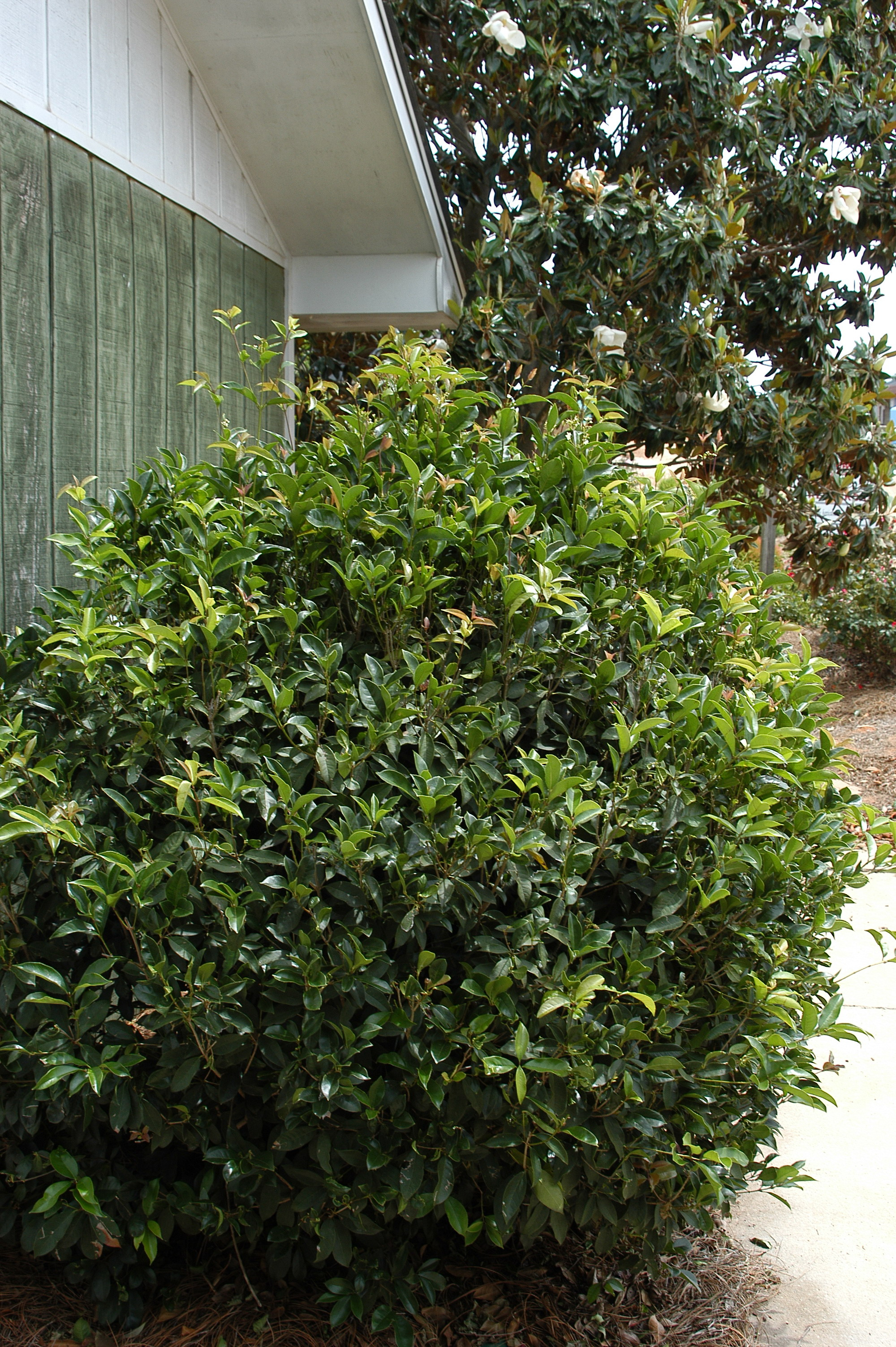 Osmanthus Fragrans Kiefer Nursery Trees Shrubs Perennials