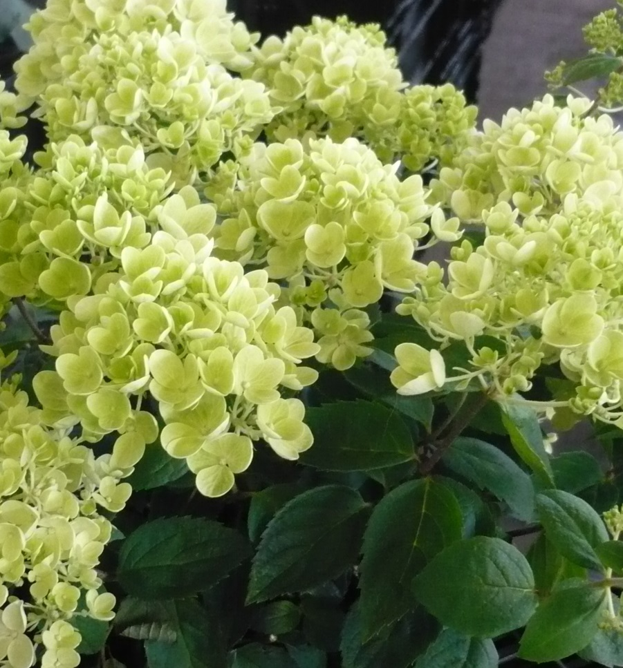 Hydrangea paniculata bombshell kiefer nursery trees shrubs hydrangea paniculata bombshell kiefer nursery trees shrubs perennials mightylinksfo