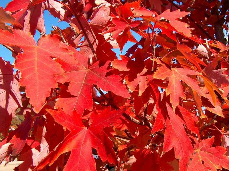 Acer X Freemanii Jeffersred Kiefer Nursery Trees Shrubs