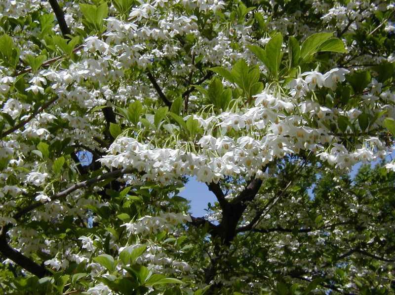 Styrax Japonicus Kiefer Nursery Trees Shrubs Perennials