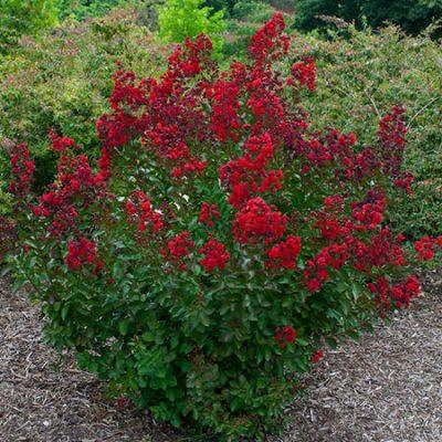 Camellia Japonica Arctic Rose Kiefer Nursery Trees