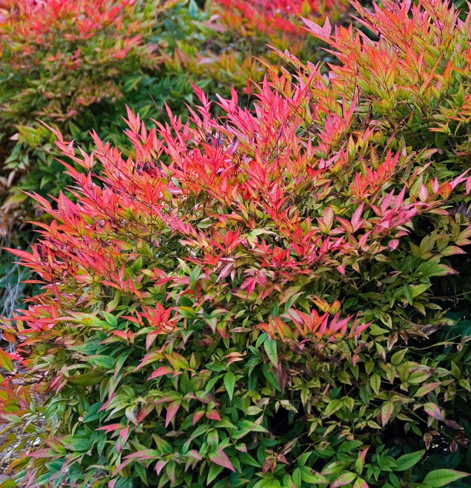 Picture of Live Heavenly Bamboo aka Nandina d. 'Gulfstream' Shrubs Plant Fit 1 Gallon Pot