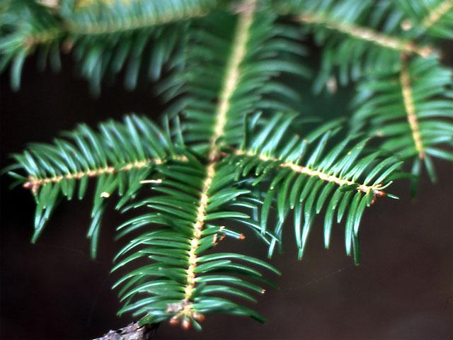 Abies Firma Momi Fir Kiefer Nursery Trees Shrubs Perennials