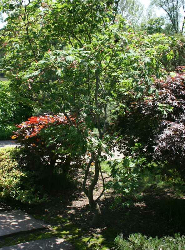 Acer Japonicum Green Cascade Kiefer Nursery Trees Shrubs