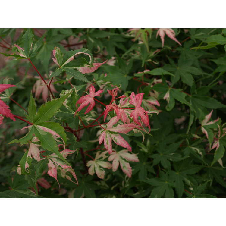 Acer Palmatum Asahi Zuru Kiefer Nursery Trees Shrubs Perennials