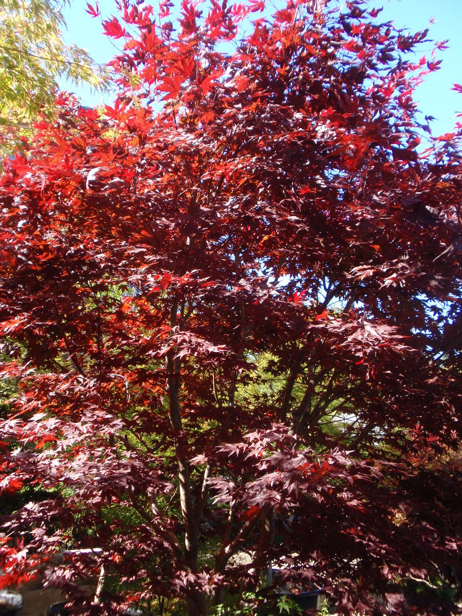 Acer Palmatum Fireglow Kiefer Nursery Trees Shrubs Perennials