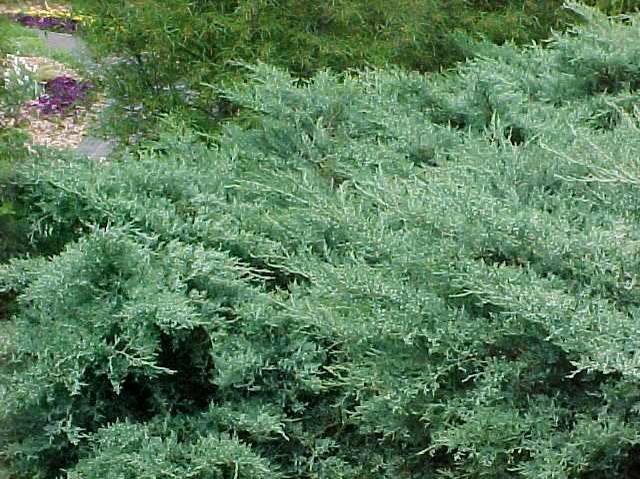 Juniperus Virginiana Grey Owl Kiefer Nursery Trees