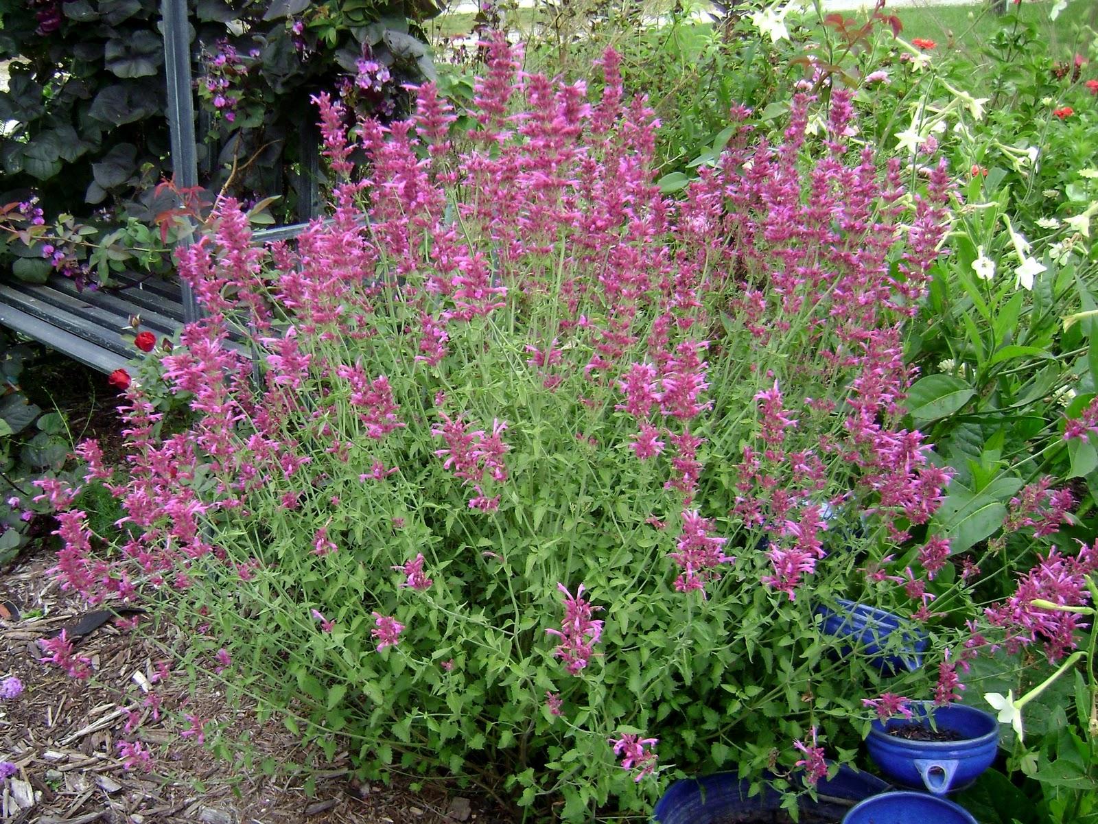 Agastache heatwave kiefer nursery trees shrubs perennials agastache mightylinksfo