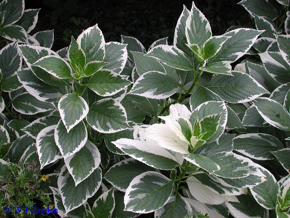 Hydrangea Macrophylla Mariesii Variegata Kiefer