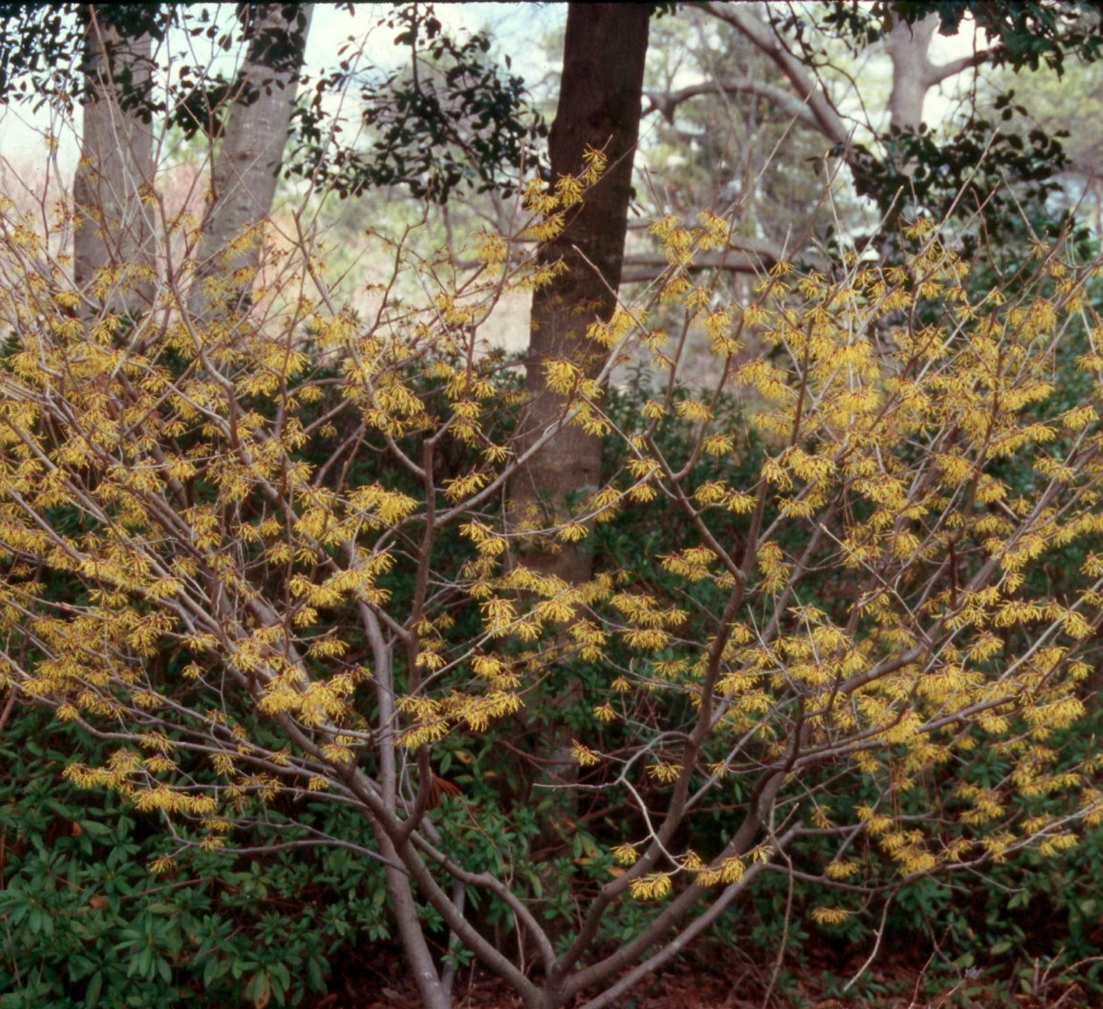 Hamamelis Virginiana Kiefer Nursery Trees Shrubs Perennials