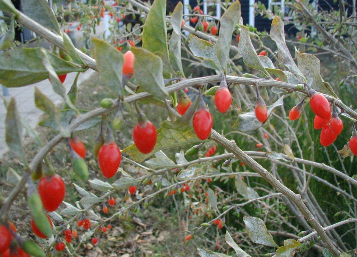 Lycium Barbarum Kiefer Nursery Trees Shrubs Perennials