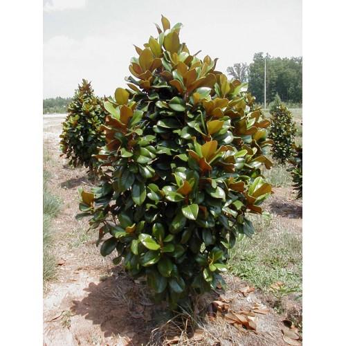 Magnolia Grandiflora Southern Charm Pp13049 Kiefer Nursery