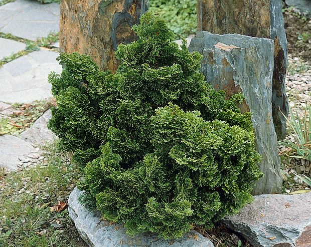 chamaecyparis obtusa nana gracilis kiefer nursery. Black Bedroom Furniture Sets. Home Design Ideas