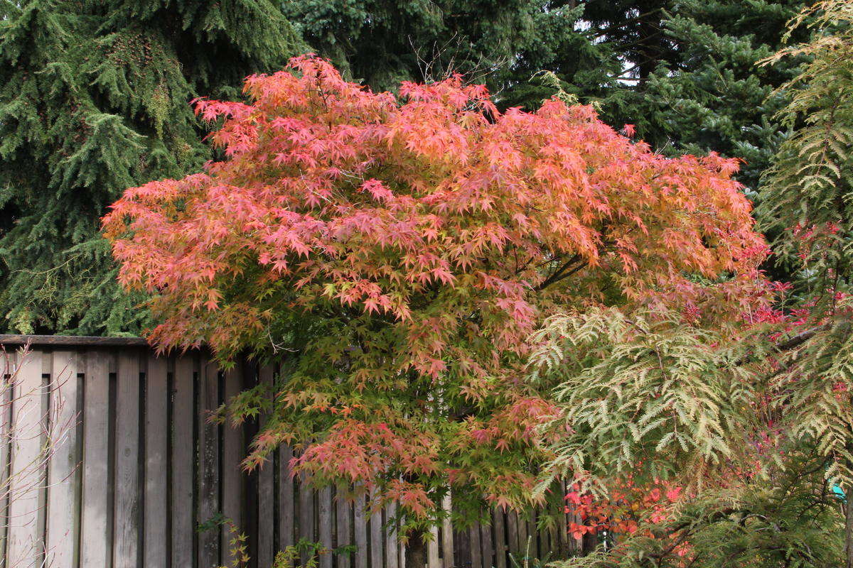 Acer Palmatum Nishiki Gawa Kiefer Nursery Trees Shrubs Perennials