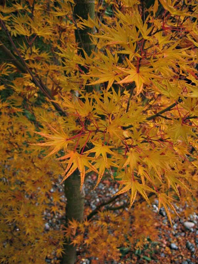 Acer Palmatum Okushimo Kiefer Nursery Trees Shrubs Perennials