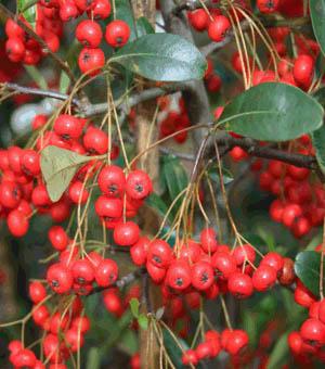 Pyracantha koidzumii 'Victory' | Kiefer Nursery: Trees ...