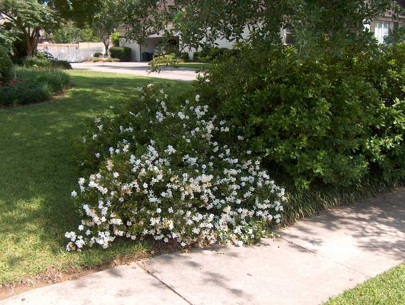 Gardenia Jasminoides Radicans Kiefer Nursery Trees Shrubs