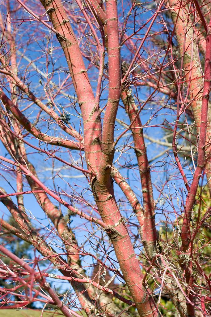 Acer Palmatum Sango Kaku