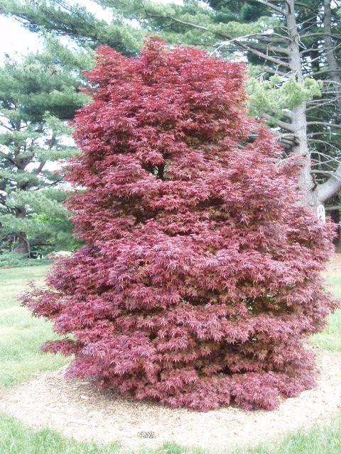 Acer Palmatum Skeeters Broom Kiefer Nursery Trees Shrubs