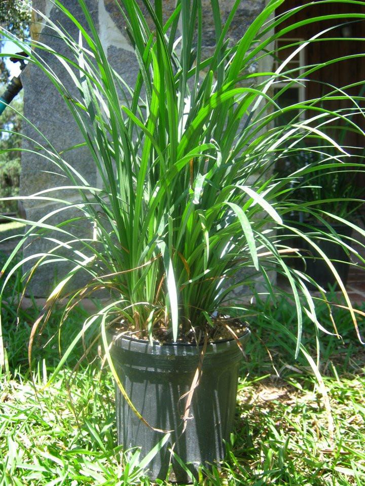 Liriope Muscari Super Green Giant Kiefer Nursery Trees Shrubs