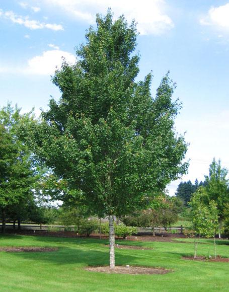 Acer Rubrum Sun Valley Kiefer Nursery Trees Shrubs
