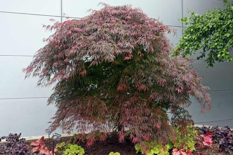Acer Palmatum Var Dissectum Tamukeyama Kiefer Nursery Trees