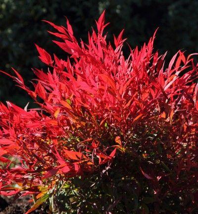 Nandina Domestica Tuscan Flame Kiefer Nursery Trees
