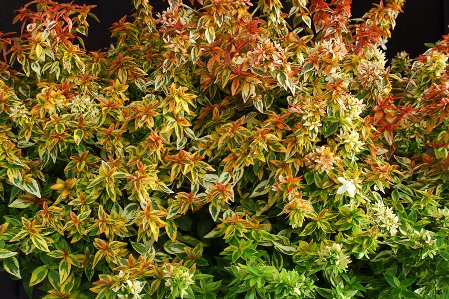 Abelia Kaleidoscope Kiefer Nursery Trees Shrubs Perennials
