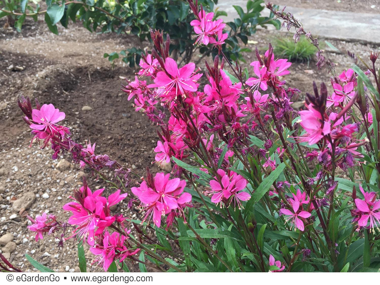 Gaura Lindheimeri Belleza Dark Pink Kiefer Nursery Trees