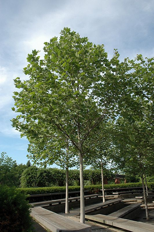 Chalet Nursery And Garden Center: Platanus X Acerifolia 'Morton Circle'