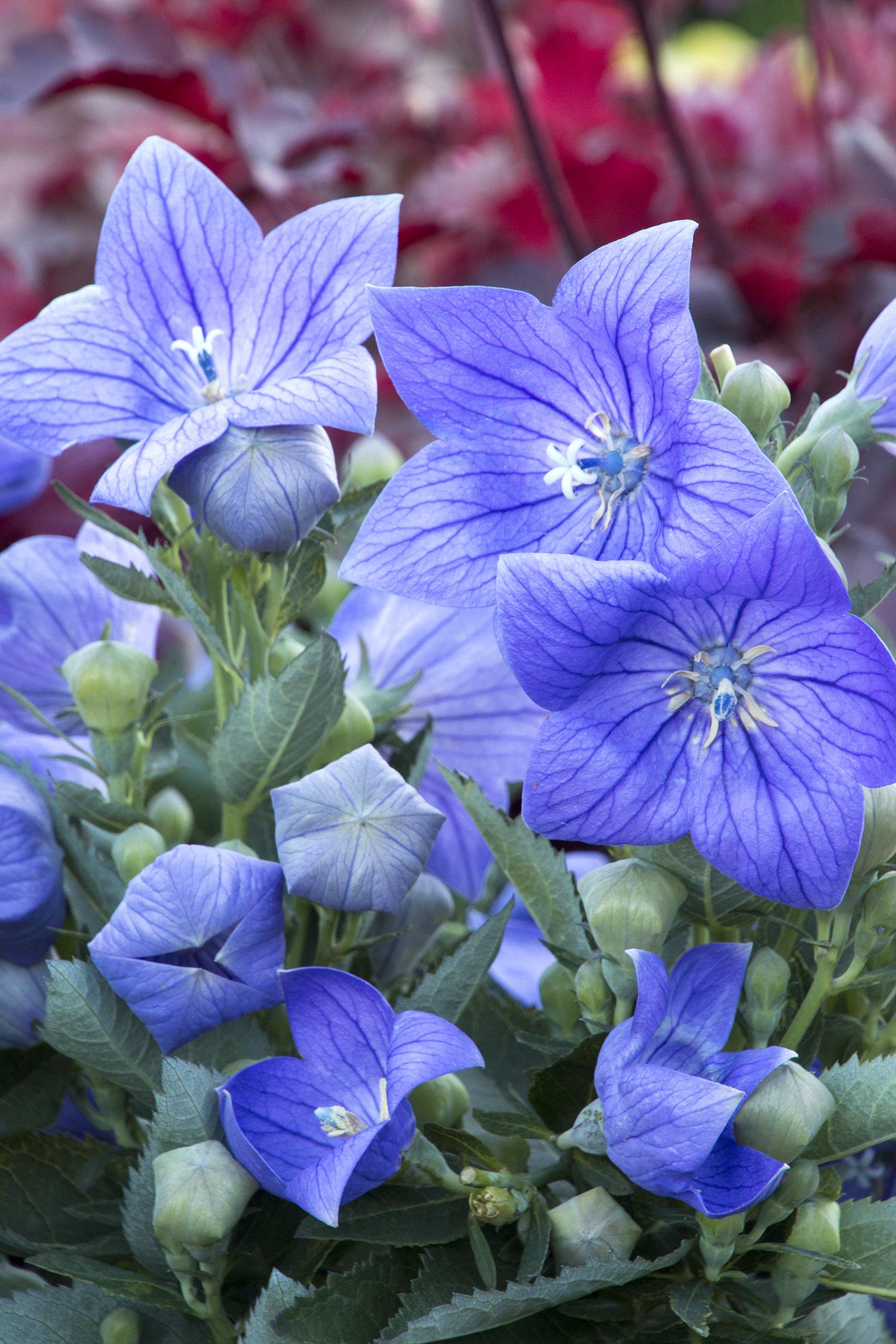 самый большой цветок платикодон фото благодаря