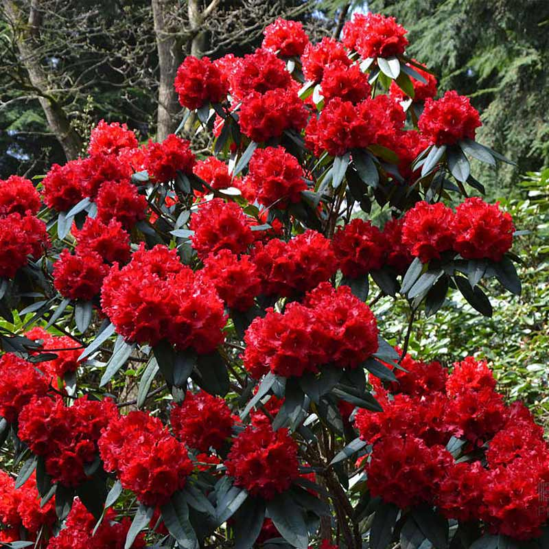 Rhododendron Taurus Kiefer Nursery Trees Shrubs Perennials