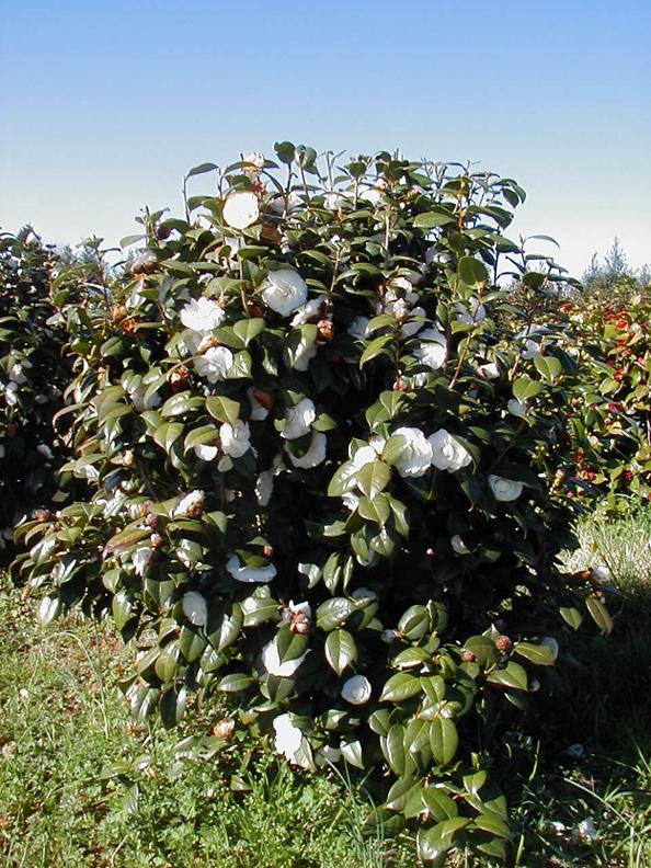 Camellia Japonica White By The Gate Kiefer Nursery Trees