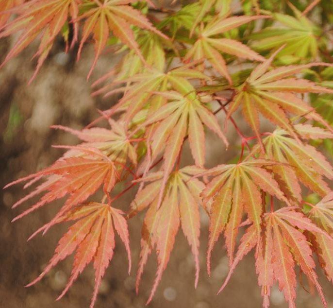Acer Palmatum Orange Flame Kiefer Nursery Trees Shrubs Perennials