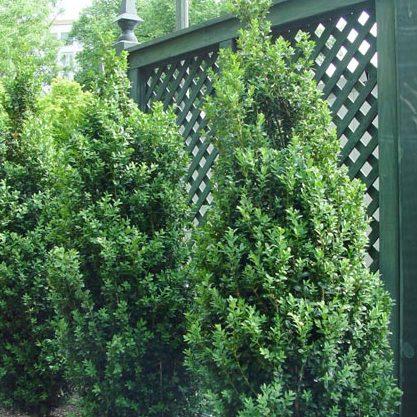 Buxus Sempervirens Green Pillar Kiefer Nursery Trees