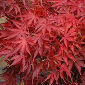 Acer Palmatum Wakehurst Pink Kiefer Nursery Trees Shrubs