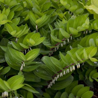 Products | Kiefer Nursery: Trees, Shrubs, Perennials