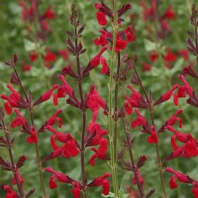 Salvia darcyi x S microphylla 'Windwalker Royal Red'