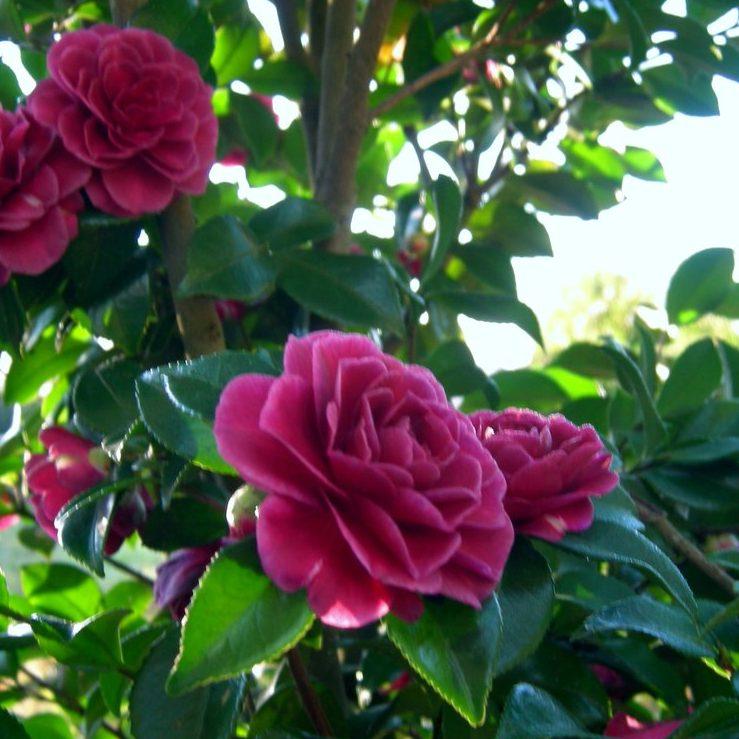 Shade Garden Annuals