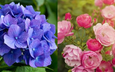 The Colors of May – Hydrangeas, Roses & Perennials