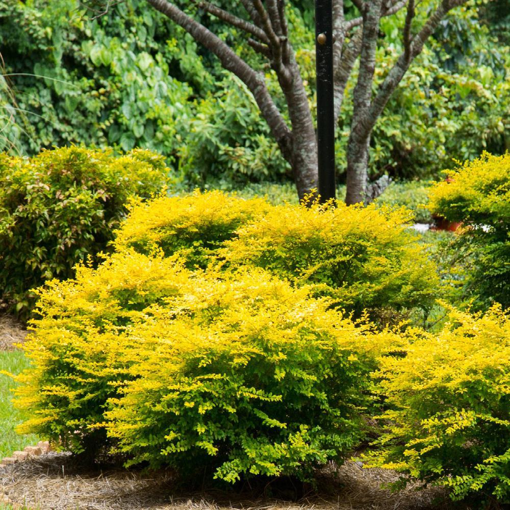 Ligustrum sinense 'Sunshine' | Kiefer Nursery: Trees ...