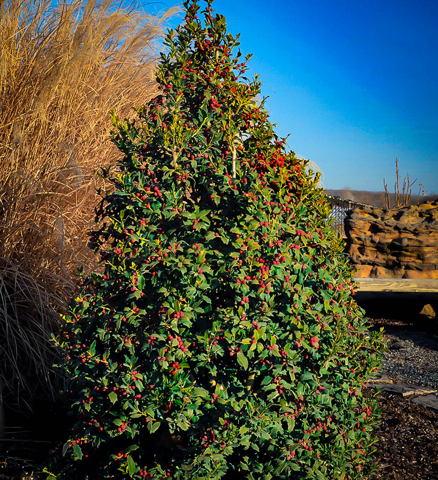 Is Jewel Open On Christmas 2020 Ilex x '10 90′ (Christmas Jewel) | Kiefer Nursery: Trees, Shrubs