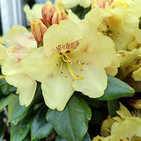 Rhododendron X Yakushimanum Gold Prinz Kiefer Nursery Trees